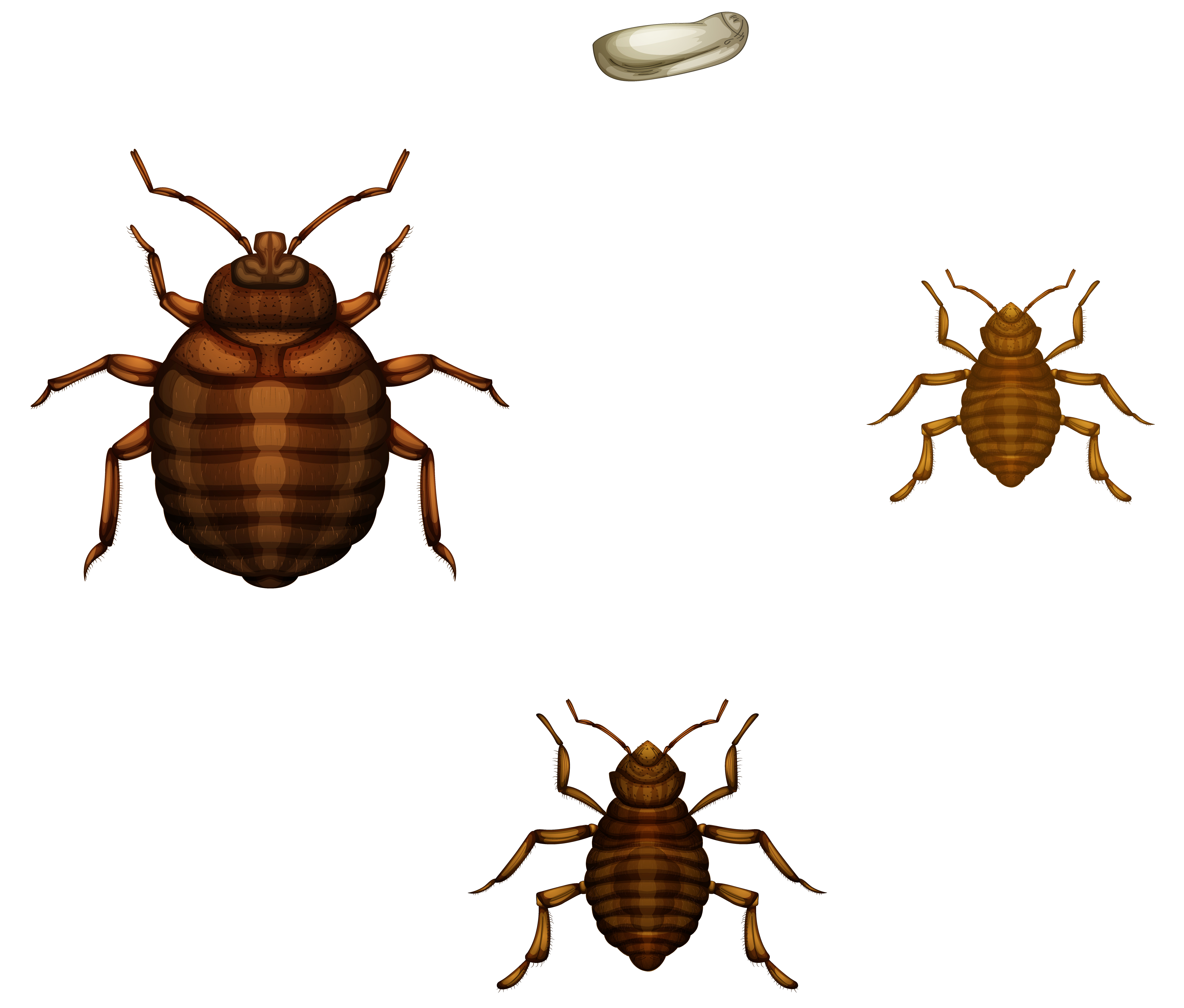 Identifying Bed Bug Eggs